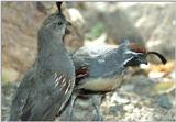 Irritated Quail