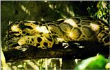 Camouflage J02 - Ocelot under shadow on branch