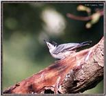 Birds Of September --> White-breasted Nuthatch