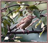 Birds Of September --> House Sparrow