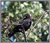 Birds Of September --> American Crow