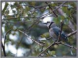 Birds Of September --> Blue Jay