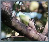 Birds Of September --> Downy Woodpecker