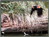 Birds Of September --> Red-winged Blackbird