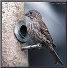 Birds Of September --> House Finch