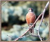 Re: Messages --> American Robin