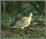 Re: Messages --> Mourning Dove