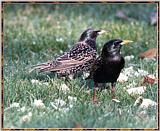 Re: Messages --> European Starlings