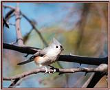 More birds --> Tufted Titmouse