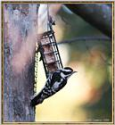 More birds --> Downy Woodpecker