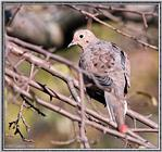 More birds --> Mourning Dove
