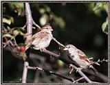 More birds --> House Sparrow