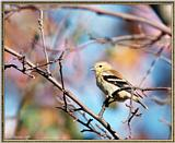 More birds --> American Goldfinch