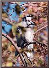 Back Yard Birds -- Pair Of Jays -- bluejay981001c.jpg --> Blue Jay