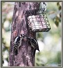Back Yard Birds - downy woodpeckers - downy01.jpg