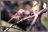 Back Yard Birds -- house sparrow -- sparrow980101.jpg