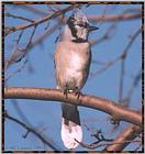 Resuming Transmission -- January 1998 images --> Blue Jay