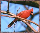 Resuming Transmission -- January 1998 images --> Northern Cardinal