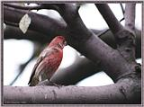 July Birds --> House Finch