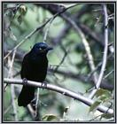 July Birds --> Common Grackle