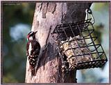 July Birds --> Downy Woodpecker