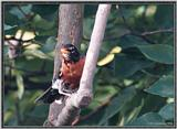 July Birds --> American Robin