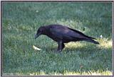 July Birds --> American Crow