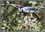 July Birds --> Blue Jay