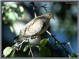 July Birds --> Mourning Dove