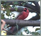 June Cardinals --> Northern Cardinal