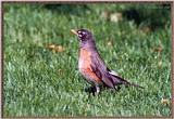 June Birds --> American Robin