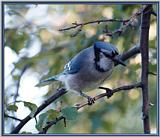 June Birds --> Blue Jay