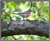 June Birds --> House Finch