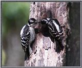 June Birds --> Downy Woodpeckers