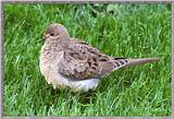 June Birds --> Mourning Dove