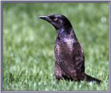 June Birds --> Common Grackle