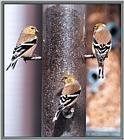 March birds --> American Goldfinch trio