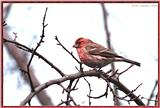 March birds --> House Finch
