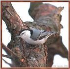 March birds --> White-breasted Nuthatch