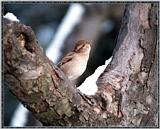 March birds --> House Sparrow