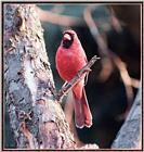 March birds -- Northern Cardinal male