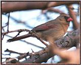 March birds --> Northern Cardinal