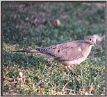 March birds --> Mourning Dove
