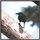 March birds --> Common Grackle - Quiscalus quiscula