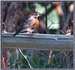 May Birds --> American Robin