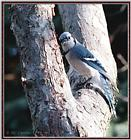 May Birds --> Blue Jay