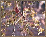May Birds --> Northern Cardinal