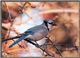 Backyard Bird Photos --> Blue Jay
