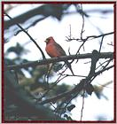 Back Yard Birds - cardinal01.jpg