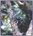 Back Yard Birds - rock dove02.jpg (pigeon)